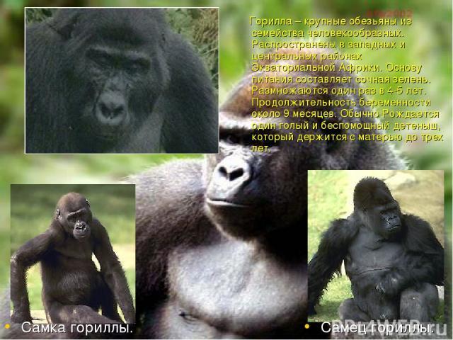 Горилла – крупные обезьяны из семейства человекообразных. Распространены в западных и центральных районах Экваториальной Африки. Основу питания составляет сочная зелень. Размножаются один раз в 4-5 лет. Продолжительность беременности около 9 месяцев…