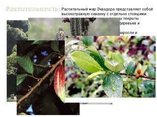 Растительный мир Эквадора представляет собой высокотравную саванну с отдельно ст