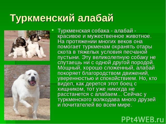 Туркменский алабай Туркменская собака - алабай - красивое и мужественное животное. На протяжении многих веков она помогает туркменам охранять отары скота в тяжелых условия песчаной пустыни. Эту великолепную собаку не спутаешь ни с одной другой пород…