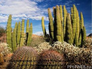 В субтропических пустынях Мексиканского нагорья растут различные виды кактусов.
