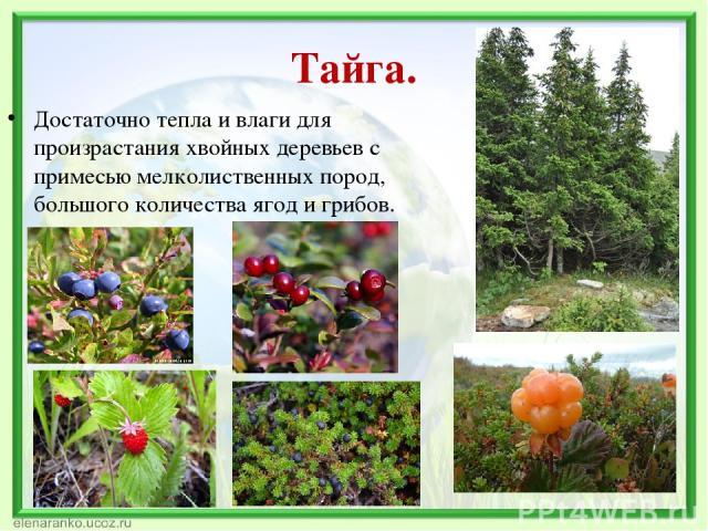 Тайга. Достаточно тепла и влаги для произрастания хвойных деревьев с примесью мелколиственных пород, большого количества ягод и грибов.