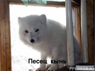 Песец кынь