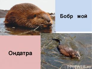 Бобр мой Ондатра