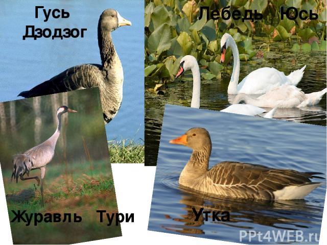 Гусь Дзодзог Лебедь Юсь Журавль Тури Утка