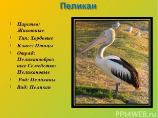 Царство: Животные Тип: Хордовые Класс: Птицы Отряд: Пеликанообразные Семейство: