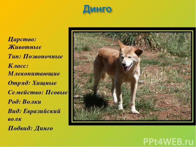 Царство: Животные Тип: Позвоночные Класс: Млекопитающие Отряд: Хищные Семейство: Псовые Род: Волки Вид: Евразийский волк Подвид: Динго