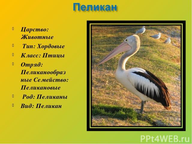 Царство: Животные Тип: Хордовые Класс: Птицы Отряд: Пеликанообразные Семейство: Пеликановые Род: Пеликаны Вид: Пеликан