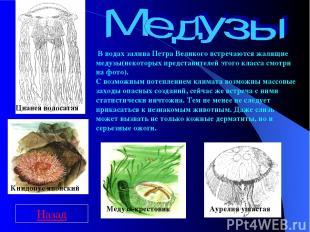 Цианея волосатая Медуза-крестовик Аурелия ушастая Книдопус японский В водах зали