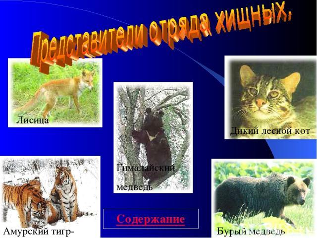 Амурский тигр- Бурый медведь Дикий лесной кот Лисица Гималайский медведь Содержание