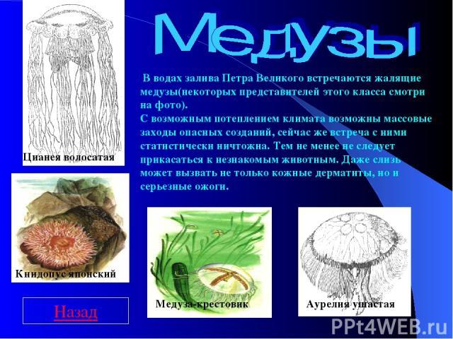 Цианея волосатая Медуза-крестовик Аурелия ушастая Книдопус японский В водах залива Петра Великого встречаются жалящие медузы(некоторых представителей этого класса смотри на фото). С возможным потеплением климата возможны массовые заходы опасных созд…