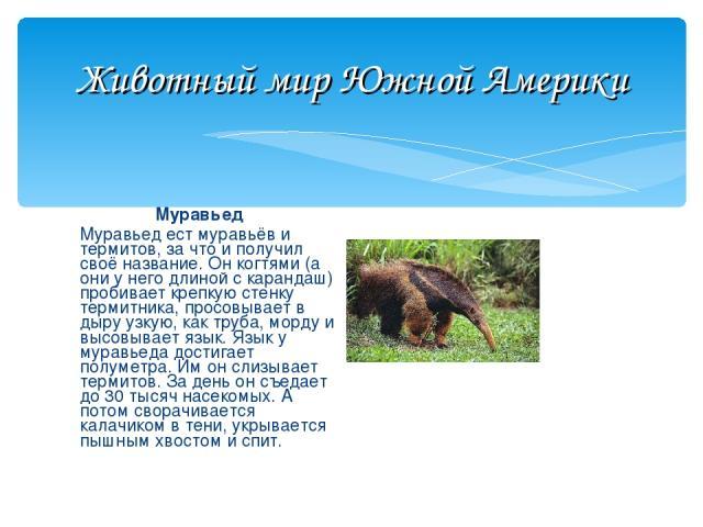 Животный мир Южной Америки Муравьед Муравьед ест муравьёв и термитов, за что и получил своё название. Он когтями (а они у него длиной с карандаш) пробивает крепкую стенку термитника, просовывает в дыру узкую, как труба, морду и высовывает язык. Язык…