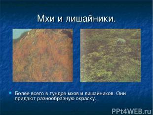 Мхи и лишайники. Более всего в тундре мхов и лишайников. Они придают разнообразн