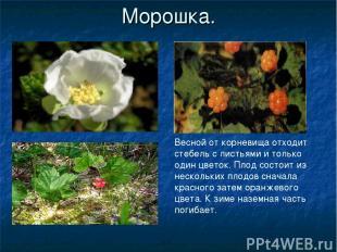 Морошка. Весной от корневища отходит стебель с листьями и только один цветок. Пл