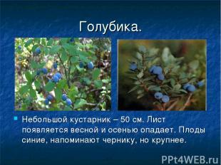 Голубика. Небольшой кустарник – 50 см. Лист появляется весной и осенью опадает.