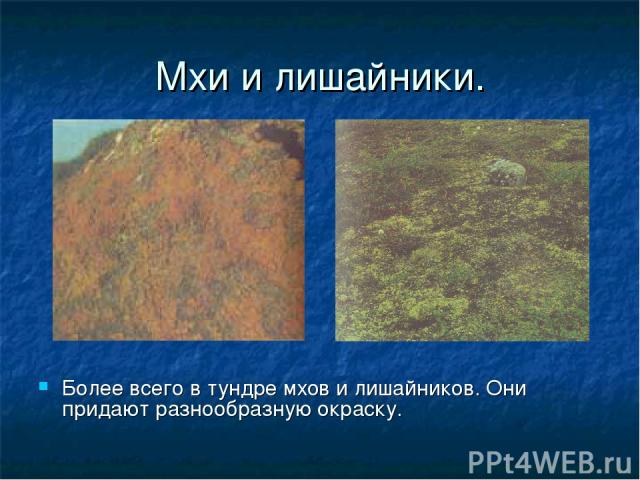 Мхи и лишайники. Более всего в тундре мхов и лишайников. Они придают разнообразную окраску.