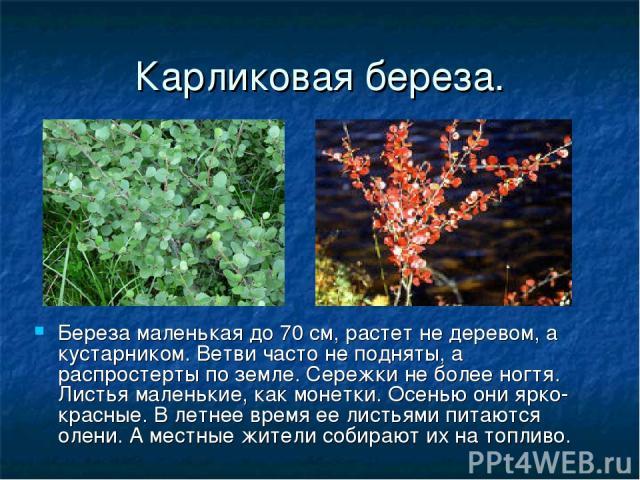 Карликовая береза. Береза маленькая до 70 см, растет не деревом, а кустарником. Ветви часто не подняты, а распростерты по земле. Сережки не более ногтя. Листья маленькие, как монетки. Осенью они ярко- красные. В летнее время ее листьями питаются оле…