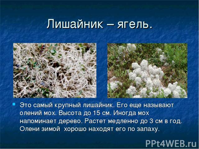 Лишайник – ягель. Это самый крупный лишайник. Его еще называют олений мох. Высота до 15 см. Иногда мох напоминает дерево. Растет медленно до 3 см в год. Олени зимой хорошо находят его по запаху.