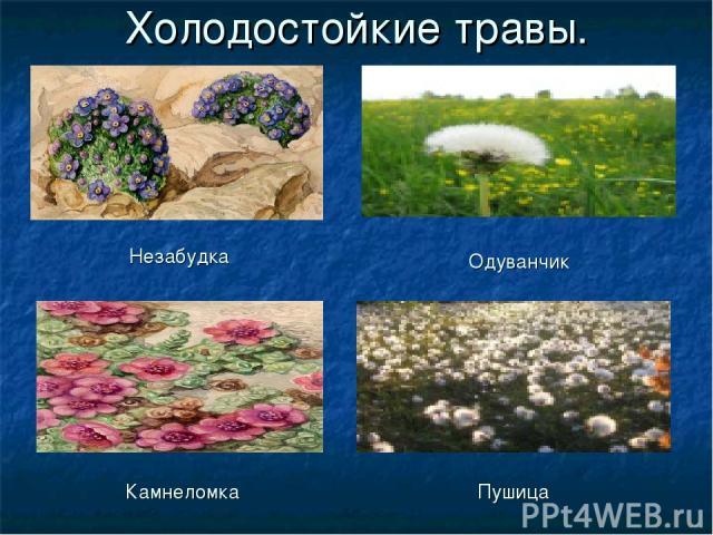 Холодостойкие травы. Незабудка Одуванчик Камнеломка Пушица