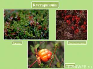 Кустарнички Вороника Красная толокнянка Морошка