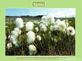 Травы Самые распространённые травы в тундре: осока, пушица, лютик