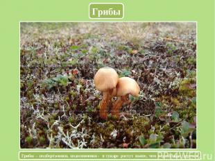 Грибы Грибы - подберёзовики, подосиновики - в тундре растут выше, чем карликовые