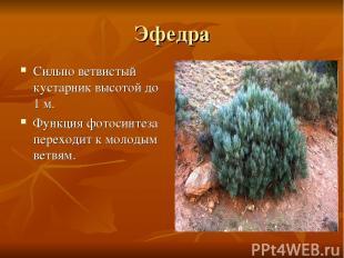 Эфедра Сильно ветвистый кустарник высотой до 1 м. Функция фотосинтеза переходит