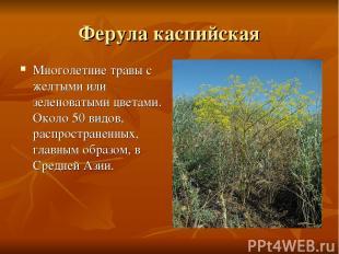 Ферула каспийская Многолетние травы с желтыми или зеленоватыми цветами. Около 50