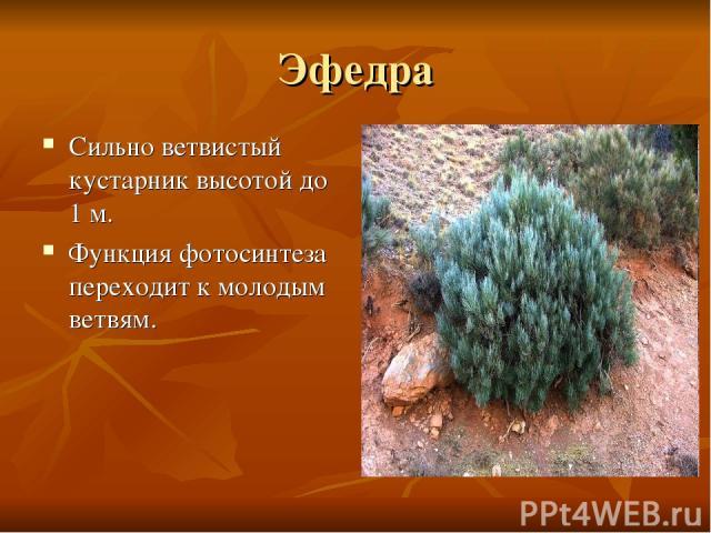 Эфедра Сильно ветвистый кустарник высотой до 1 м. Функция фотосинтеза переходит к молодым ветвям.