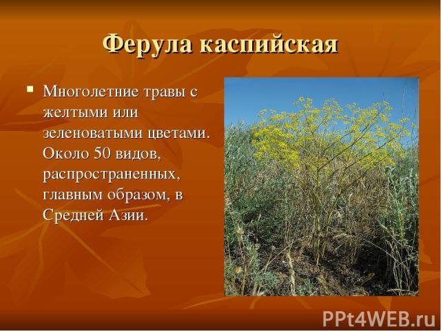 Ферула каспийская Многолетние травы с желтыми или зеленоватыми цветами. Около 50 видов, распространенных, главным образом, в Средней Азии.