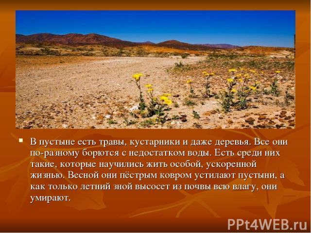 В пустыне есть травы, кустарники и даже деревья. Все они по-разному борются с недостатком воды. Есть среди них такие, которые научились жить особой, ускоренной жизнью. Весной они пёстрым ковром устилают пустыни, а как только летний зной высосет из п…