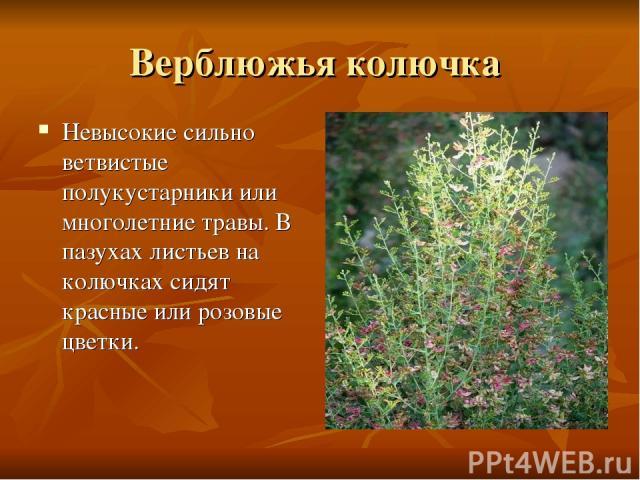 Верблюжья колючка Невысокие сильно ветвистые полукустарники или многолетние травы. В пазухах листьев на колючках сидят красные или розовые цветки.