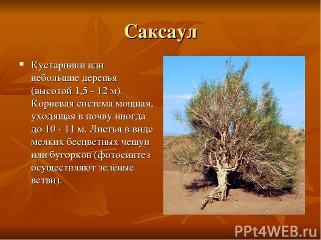 Саксаул Кустарники или небольшие деревья (высотой 1,5 - 12 м). Корневая система мощная, уходящая в почву иногда до 10 - 11 м. Листья в виде мелких бесцветных чешуи или бугорков (фотосинтез осуществляют зелёные ветви).