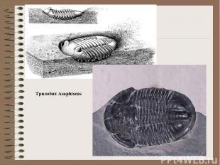 Трилобит Asaphiscus