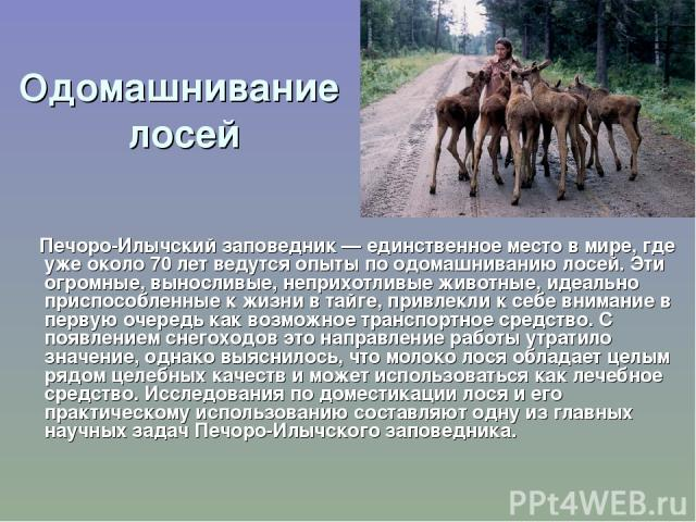 Одомашнивание лосей Печоро-Илычский заповедник — единственное место в мире, где уже около 70 лет ведутся опыты по одомашниванию лосей. Эти огромные, выносливые, неприхотливые животные, идеально приспособленные к жизни в тайге, привлекли к себе внима…