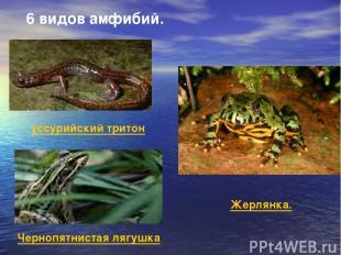 уссурийский тритон Чернопятнистая лягушка Жерлянка. 6 видов амфибий.