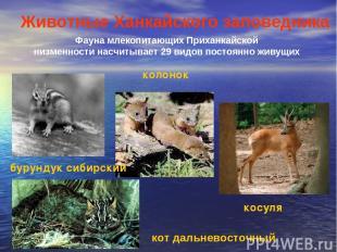 Фауна млекопитающих Приханкайской низменности насчитывает 29 видов постоянно жив