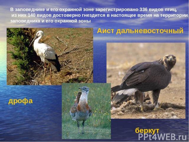 В заповеднике и его охранной зоне зарегистрировано 336 видов птиц, из них 140 видов достоверно гнездится в настоящее время на территории заповедника и его охранной зоны Аист дальневосточный дрофа беркут
