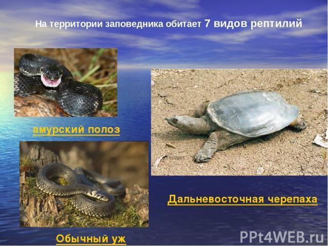 На территории заповедника обитает 7 видов рептилий амурский полоз Обычный уж Дальневосточная черепаха