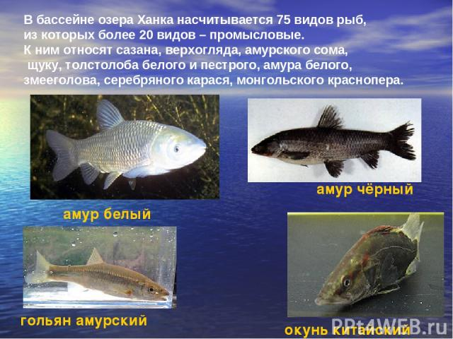 В бассейне озера Ханка насчитывается 75 видов рыб, из которых более 20 видов – промысловые. К ним относят сазана, верхогляда, амурского сома, щуку, толстолоба белого и пестрого, амура белого, змееголова, серебряного карася, монгольского краснопера. …
