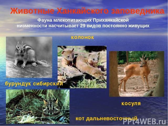 Фауна млекопитающих Приханкайской низменности насчитывает 29 видов постоянно живущих Животные Ханкайского заповедника кот дальневосточный бурундук сибирский колонок косуля