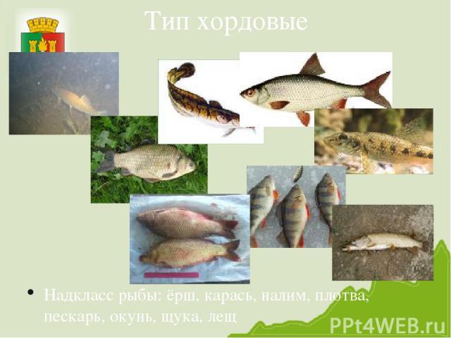 Тип хордовые Надкласс рыбы: ёрш, карась, налим, плотва, пескарь, окунь, щука, лещ