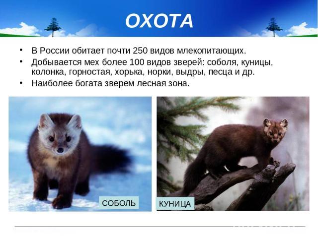 ОХОТА В России обитает почти 250 видов млекопитающих. Добывается мех более 100 видов зверей: соболя, куницы, колонка, горностая, хорька, норки, выдры, песца и др. Наиболее богата зверем лесная зона. СОБОЛЬ КУНИЦА