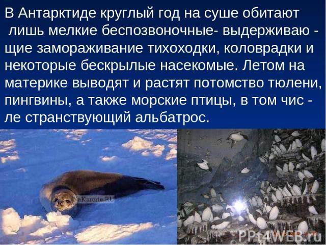 В Антарктиде круглый год на суше обитают лишь мелкие беспозвоночные- выдерживаю - щие замораживание тихоходки, коловрадки и некоторые бескрылые насекомые. Летом на материке выводят и растят потомство тюлени, пингвины, а также морские птицы, в том чи…