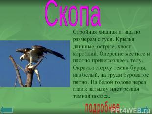 Стройная хищная птица по размерам с гуся. Крылья длинные, острые, хвост короткий