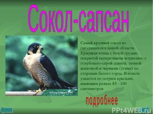 Самый крупный сокол из гнездящихся в нашей области. Красивая птица с белой грудь