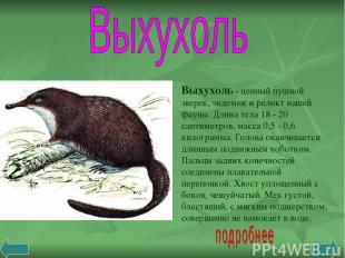 Выхухоль - ценный пушной зверек, эндемик и реликт нашей фауны. Длина тела 18 - 2
