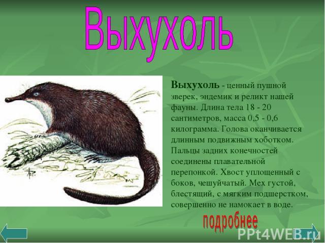 Выхухоль - ценный пушной зверек, эндемик и реликт нашей фауны. Длина тела 18 - 20 сантиметров, масса 0,5 - 0,6 килограмма. Голова оканчивается длинным подвижным хоботком. Пальцы задних конечностей соединены плавательной перепонкой. Хвост уплощенный …