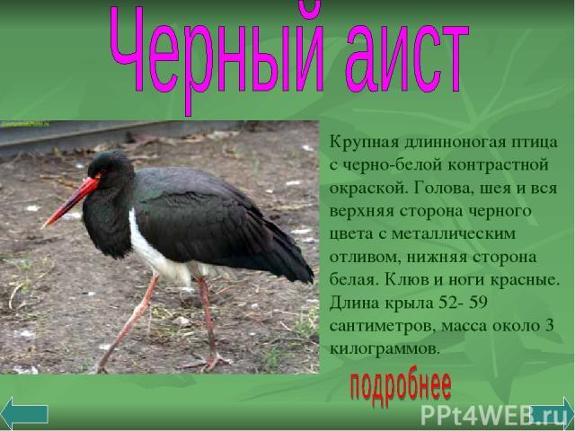 Крупная длинноногая птица с черно-белой контрастной окраской. Голова, шея и вся верхняя сторона черного цвета с металлическим отливом, нижняя сторона белая. Клюв и ноги красные. Длина крыла 52- 59 сантиметров, масса около 3 килограммов.