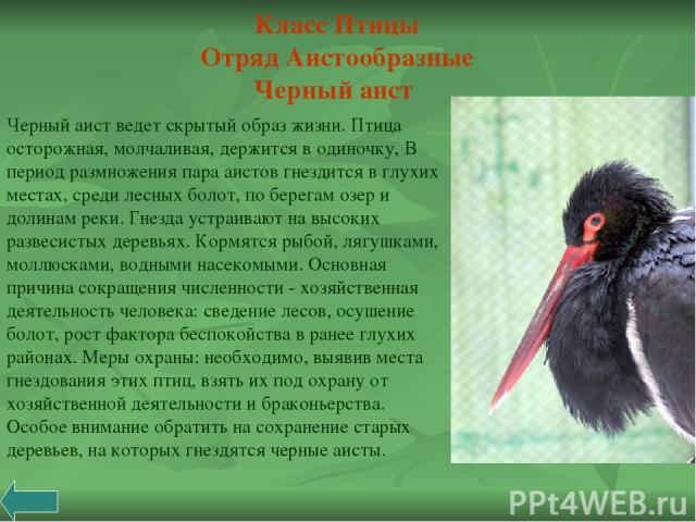 Черный аист ведет скрытый образ жизни. Птица осторожная, молчаливая, держится в одиночку, В период размножения пара аистов гнездится в глухих местах, среди лесных болот, по берегам озер и долинам реки. Гнезда устраивают на высоких развесистых деревь…