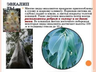 Многие виды эвкалиптов прекрасно приспособлены к сухому и жаркому климату. Корне